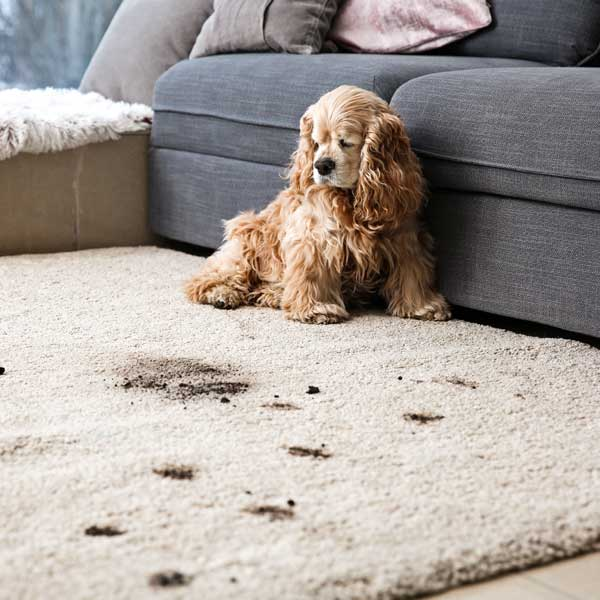 Pet Stain and Odor Removal in Silver Spring MD